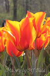 Tulips flames